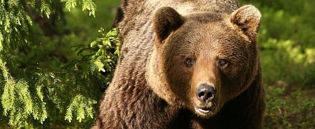 Ursul Brun
